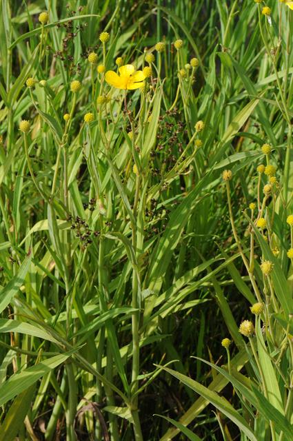 Great Spearwort (Ranunculus lingua)