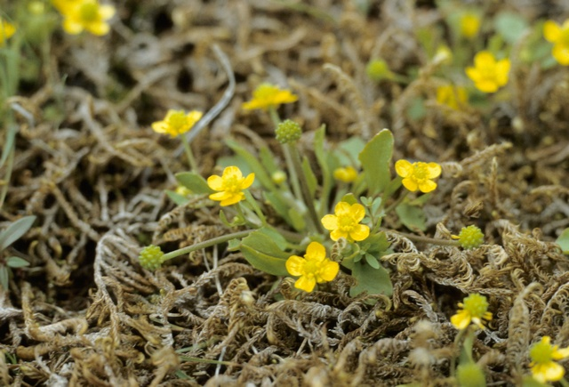 Adder´S-Tongue Spearwort (Ranunculus ophioglossifolius)