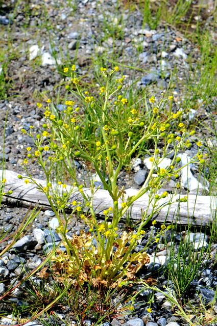 Celery-leaved Crowfoot (Ranunculus sceleratus)