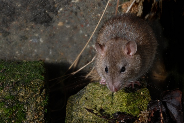 Brown Rat (Rattus norvegicus)