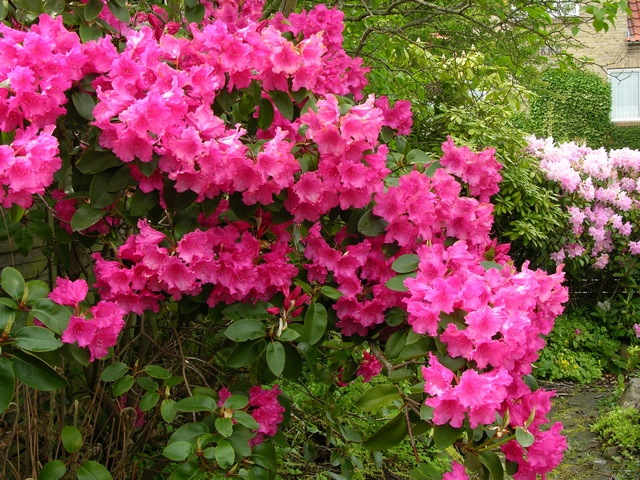 Rhododendron (August Lampken) photo