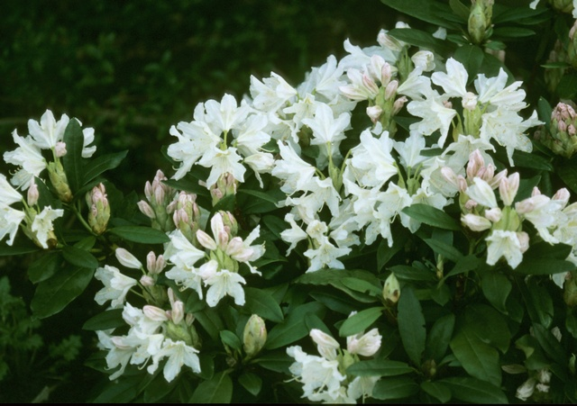 Rhododendron (Cunninghams white)