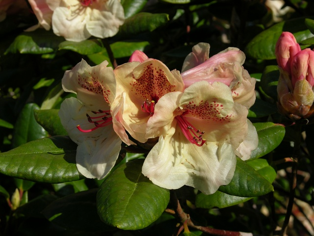Rhododendron (Diandii)