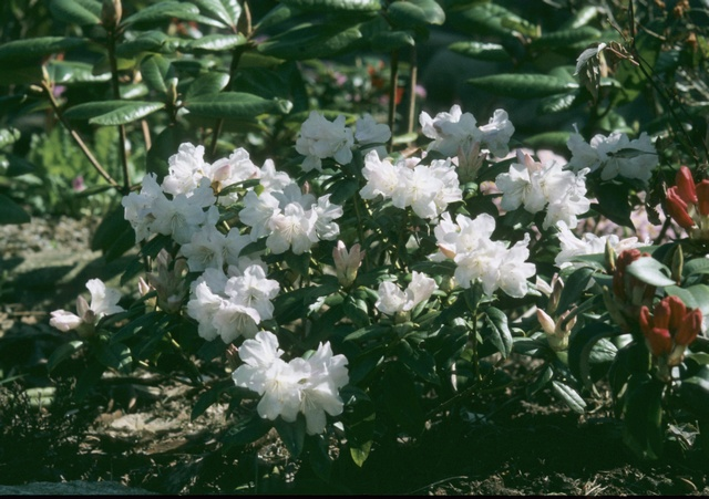 Rhododendron (Dora Amatheii) photo