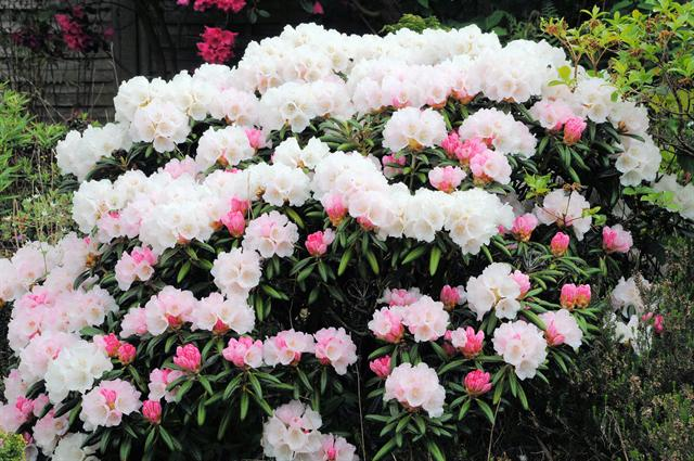 Rhododendron yakusimanum photo