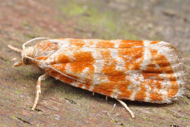 European Pine Shoot Moth (Rhyacionia buoliana)