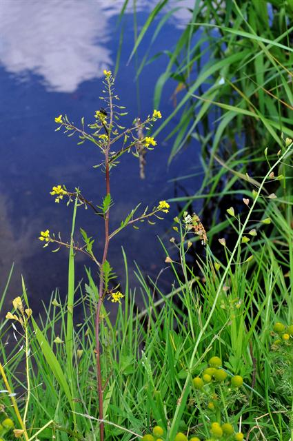 Marsh Yellowcress (Rorippa palustris)