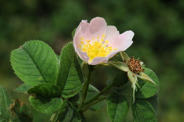 Harsh Downy-Rose (Rosa tomentosa)