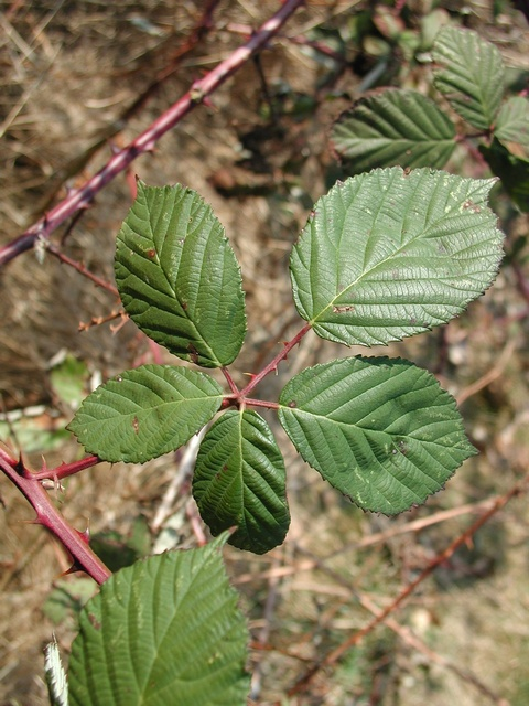 Rubus armeniacus image