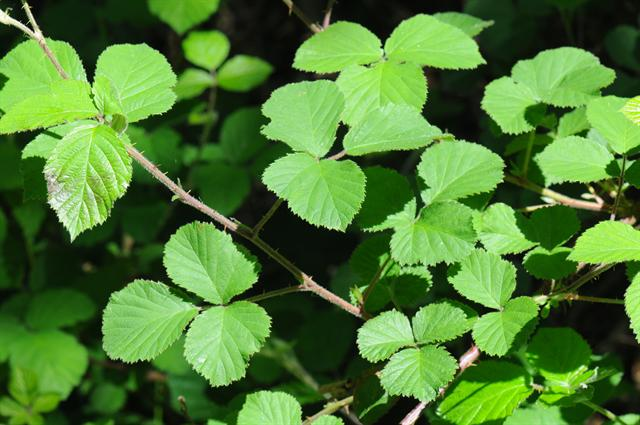 Rubus vestitus photo