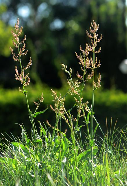 Rumex thyrsiflorus photo