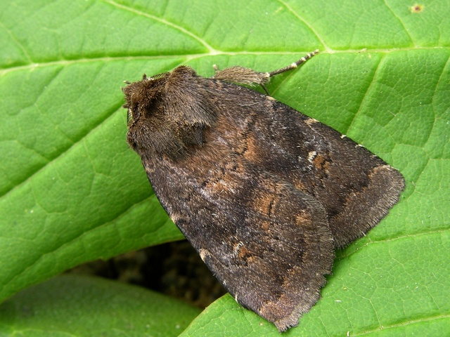 Brown Rustic (Rusina ferruginea)