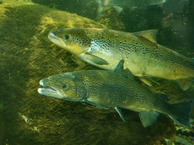 Atlantic salmon (Salmo salar)