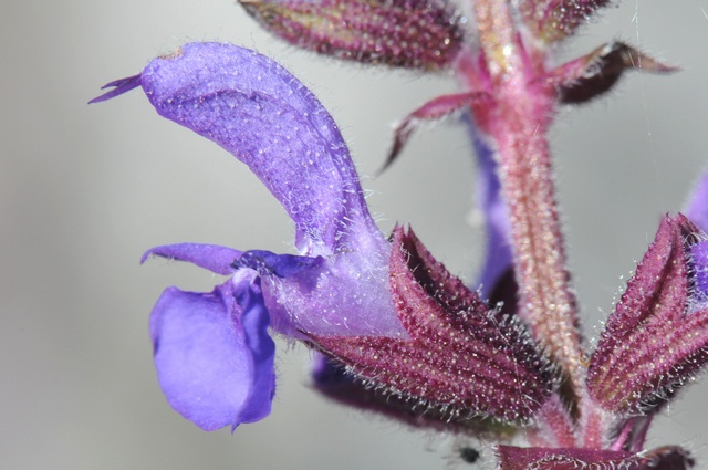Image of Salvia pratensis