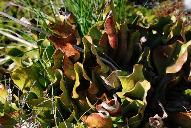 Pitcher Plant (Sarracenia purpurea)