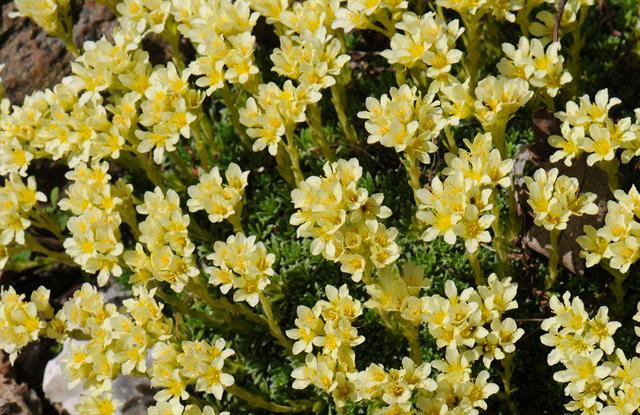 Saxifraga apiculata photo