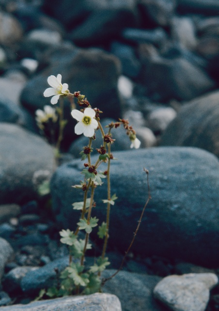 Image of Saxifraga cernua