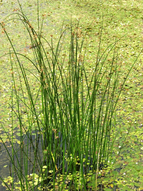 Common Club-Rush - Bulrush (Schoenoplectus lacustris)