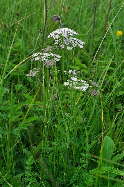Cambridge Milk-Parsley (Selinum carvifolia)