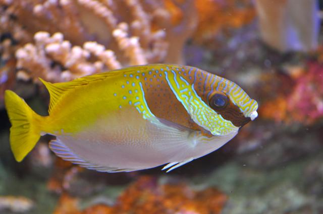 Double barred rabitfish (Siganus virgatus)