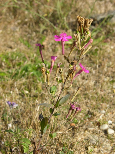 Sweet William Catchfly (Silene armeria)