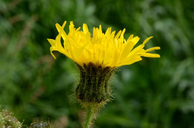 Perennial Sow-thistle, Field Sow-thistle (Sonchus arvensis)