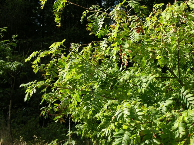 True Service Tree (Sorbus domestica)