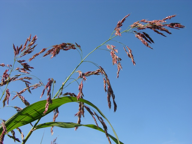 Johnson-Grass (Sorghum halepense)