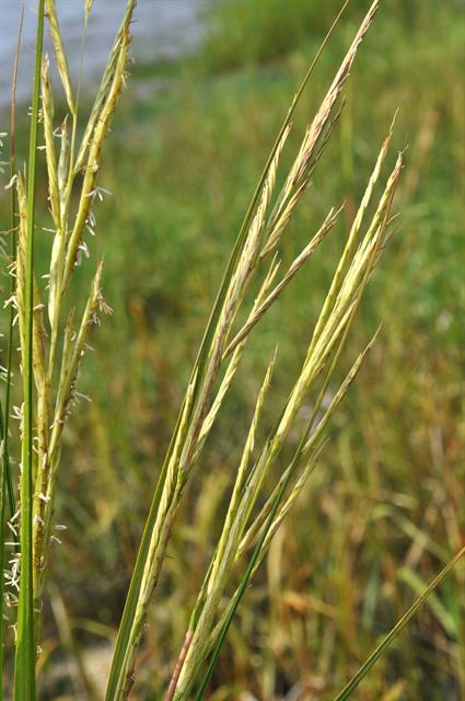 Smooth Cord-Grass (Spartina alterniflora)