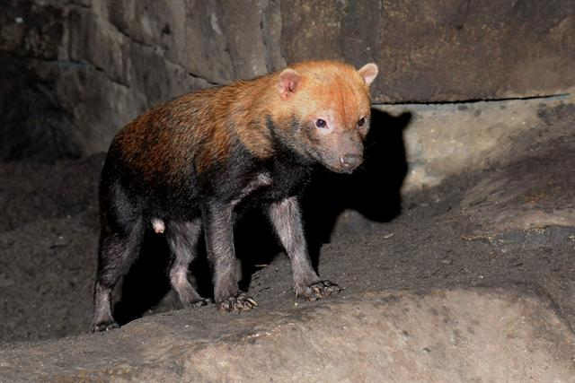 Bush Dog (Speothos venaticus)