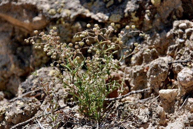 Spergularia diandra image