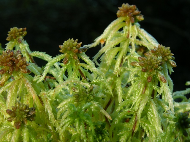 Sphagnum palustre photo