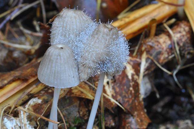 Bonnet Mould (Spinellus fusiger)