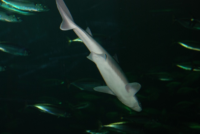 Piked dogfish   (Squalus acanthias)