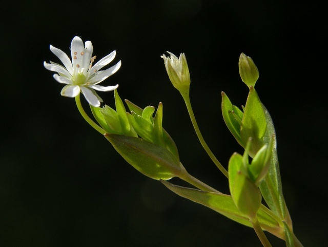 Image of Stellaria crassifolia