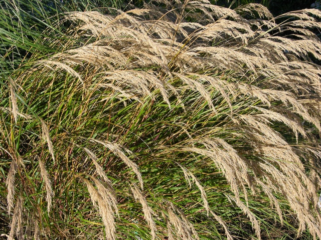 Stipa calamagrostis image