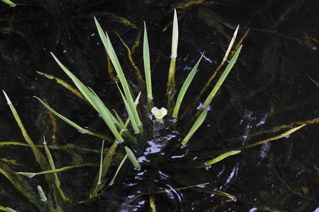 Water Soldier (Stratiotes aloides)