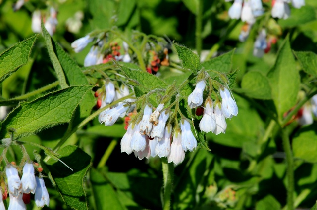 Rough Comfrey (Symphytum asperum)