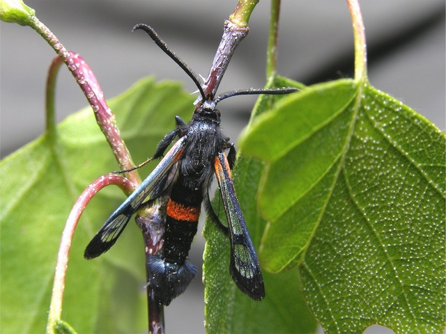 Large Red-belted Clearwing (Synanthedon culiciformis)