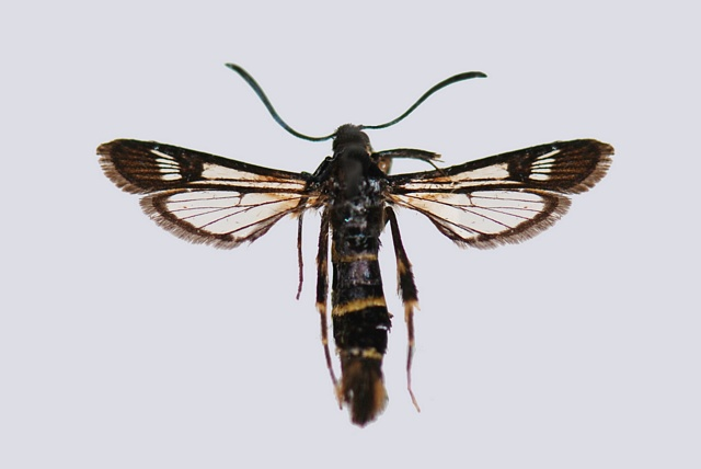 Sallow clearwing (Synanthedon flaviventris)