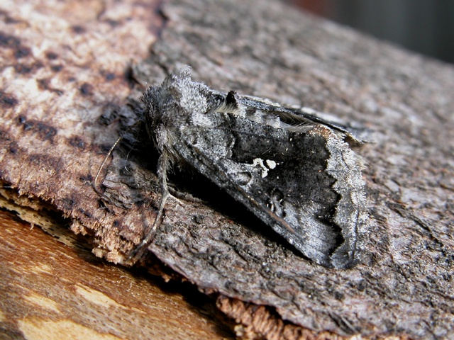Scarce Silver Y (Syngrapha interrogationis)