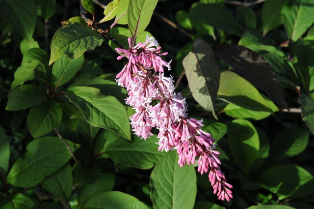 Syringa reflexa photo