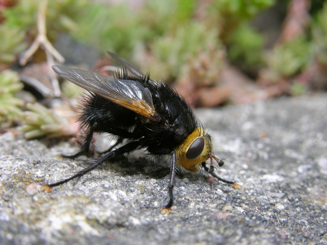 Tachina grossa photo