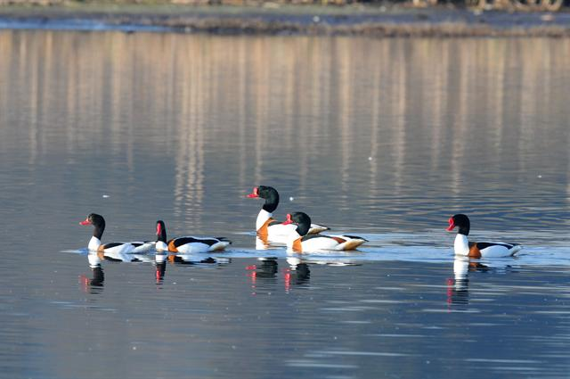 Common Shelduck (Tadorna tadorna)