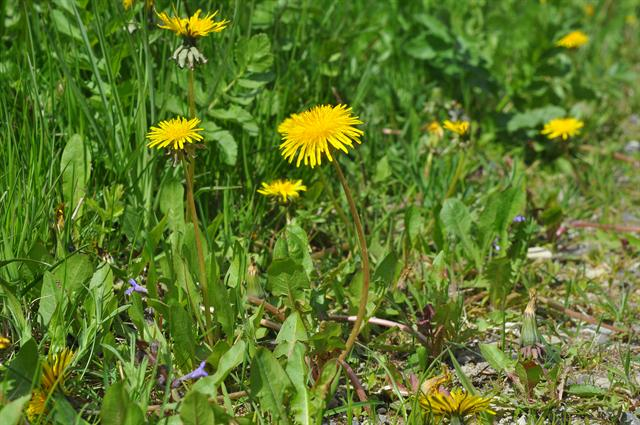 Taraxacum sp. photo