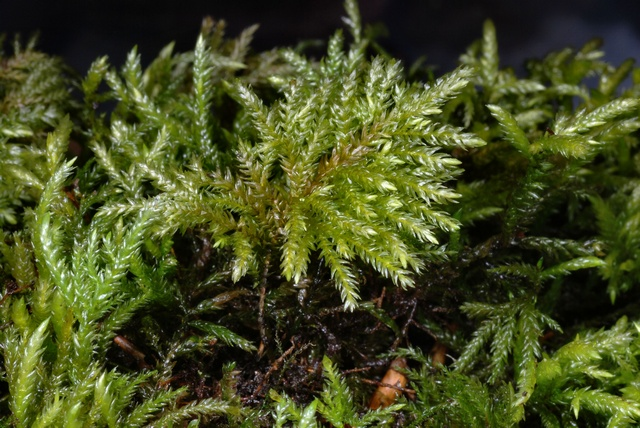 Fox-tail Feather-moss (Thamnobryum alopecurum)