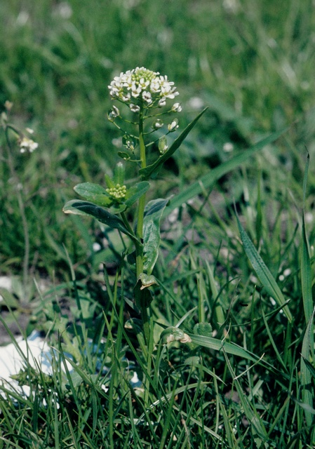 Field Pennycress (Thlaspi arvense)