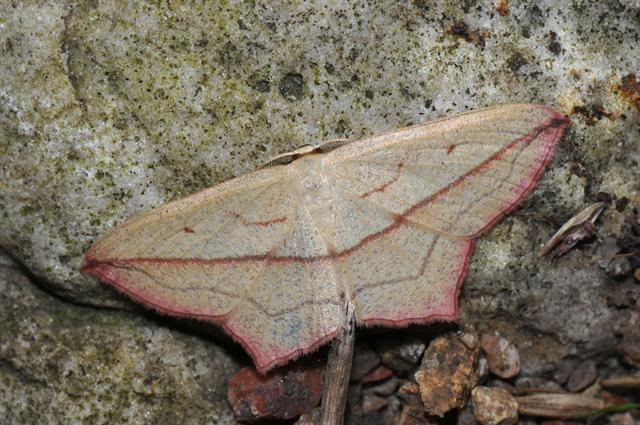 Blood-vein (Timandra comae)