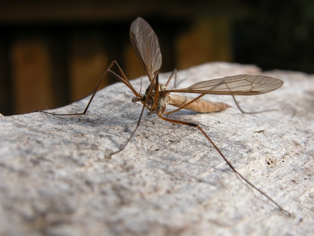 Tipula paludosa photo