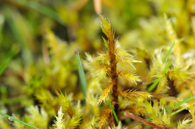 Woolly Feather-moss (Tomentypnum nitens)